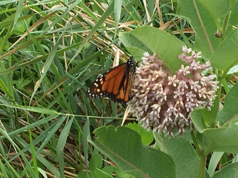 Monarch-butterfly-on-milkweed-flower.jpg